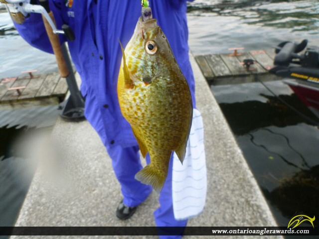 "9"" Pumpkinseed caught on Rice Lake"