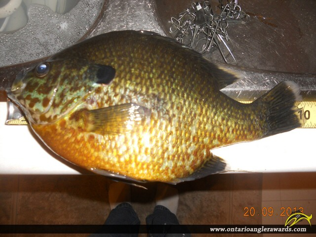 """10.00"""" Pumpkinseed caught on Blind River"""