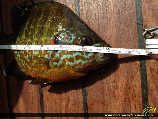 "9"" Pumpkinseed caught on White Lake"