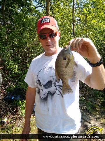 "9.75"" Bluegill caught on Alder Lake"