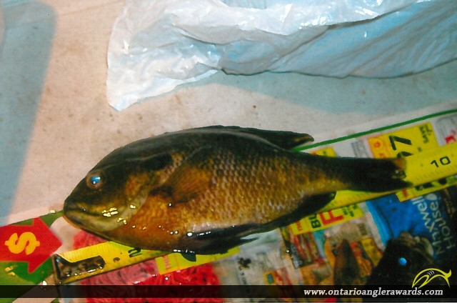 "9"" Bluegill caught on Sturgeon Lake"