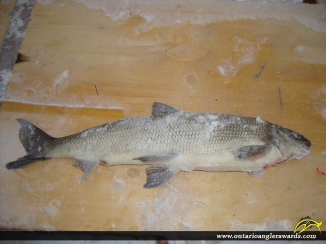 """26"""" Whitefish caught on Lake Simcoe"""