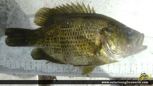 "10.01"" Rock Bass caught on Jack\'s Lake"