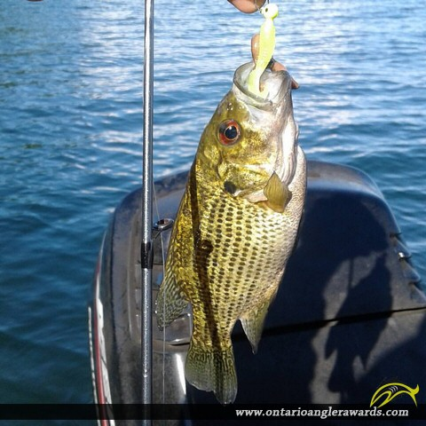 "11"" Rock Bass caught on Lake Simcoe"