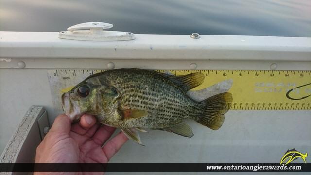 "10.5"" Rock Bass caught on Mink Lake"