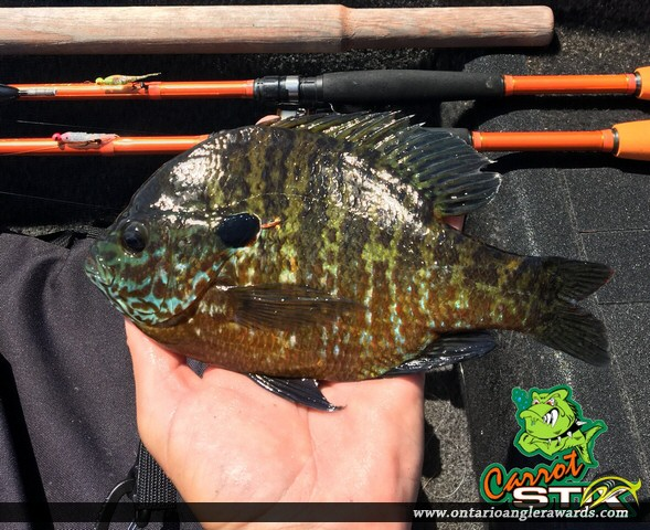 "10"" Bluegill caught on Lake Kashagawigamog"
