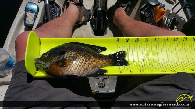 "9"" Bluegill caught on Bay of Quinte"