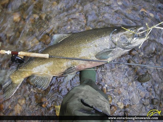 "41.5"" Chinook Salmon caught on Wilmot Creek"