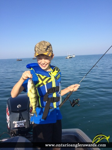 "12.5"" Yellow Perch caught on Lake St. Clair"