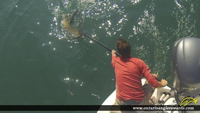"45"" Muskie caught on Lake St. Clair"