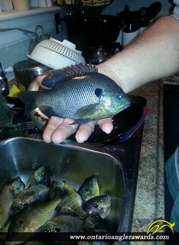 "9.25"" Bluegill caught on Welland River"