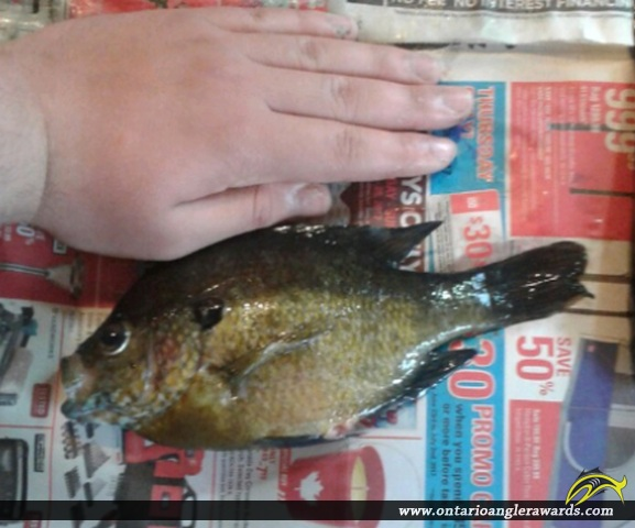 "10.5"" Bluegill caught on House Lake"