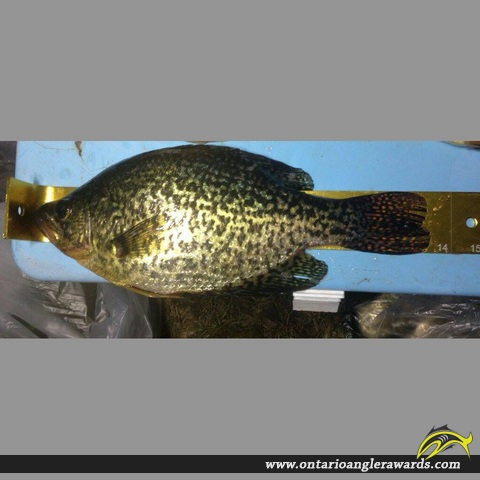 "13.75"" Black Crappie caught on Big Rideau Lake"