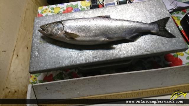 """30.00"""" Chinook Salmon caught on Lake Huron"""
