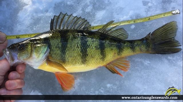 "12.00"" Yellow Perch caught on Puslinch Lake"
