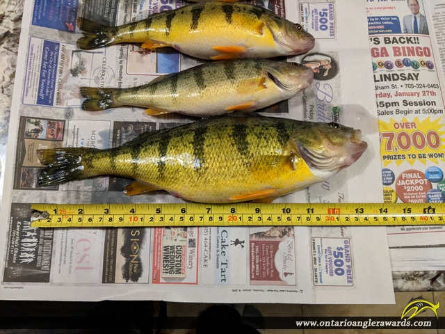 "13.75"" Yellow Perch caught on Lake Simcoe"