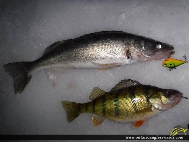 "12"" Yellow Perch caught on Lake Nipissing"