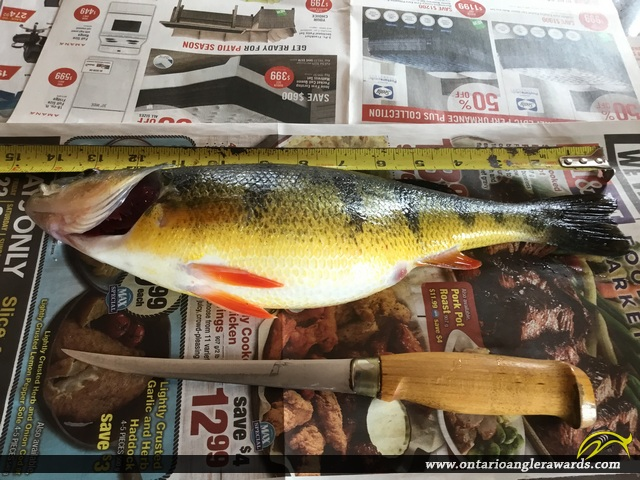 "14"" Yellow Perch caught on Lake Simcoe"