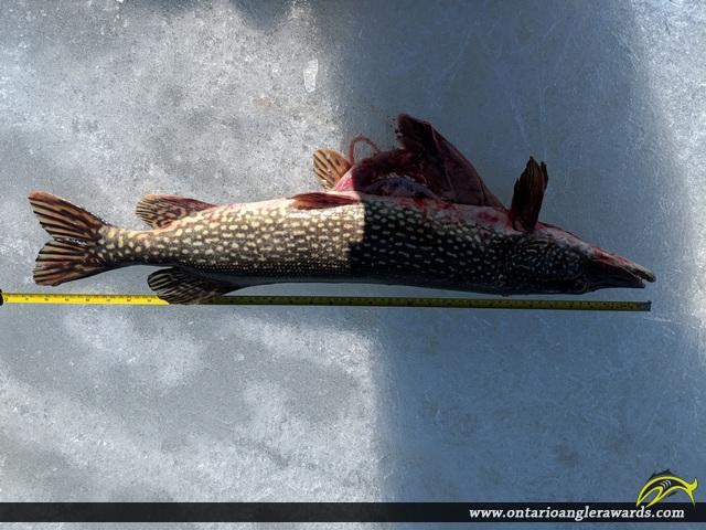 """30.75"""" Northern Pike caught on Wabagesik Lake"""