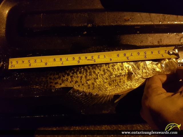 """10"""" Black Crappie caught on Lake Scugog"""