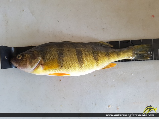 "13"" Yellow Perch caught on Landons Bay"
