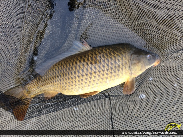 "34"" Carp caught on Hamilton Harbour"