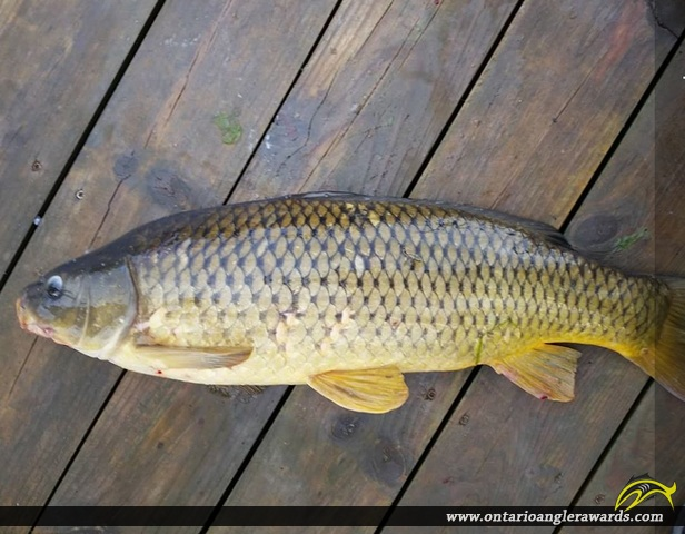"30"" Carp caught on Grand River"