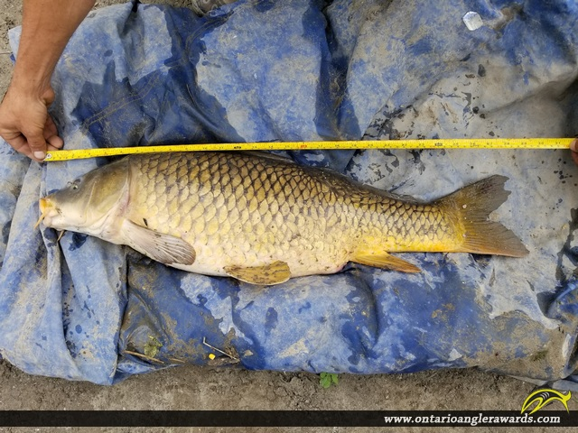"30"" Carp caught on Nation River"