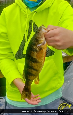 "15"" Yellow Perch caught on Ivanhoe lake"