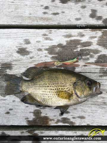 "10"" Rock Bass caught on Long Lake"