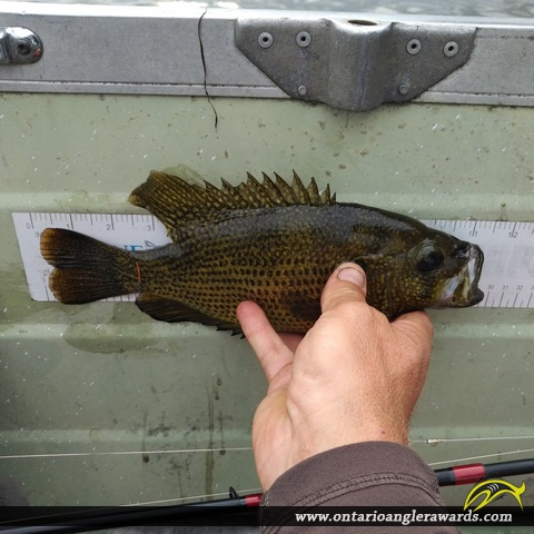 "11"" Rock Bass caught on Mississippi Lake"