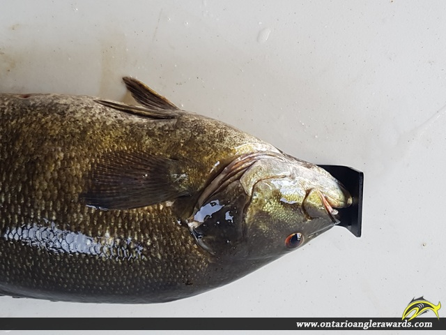 """20"""" Smallmouth Bass caught on St. Lawrence River"""