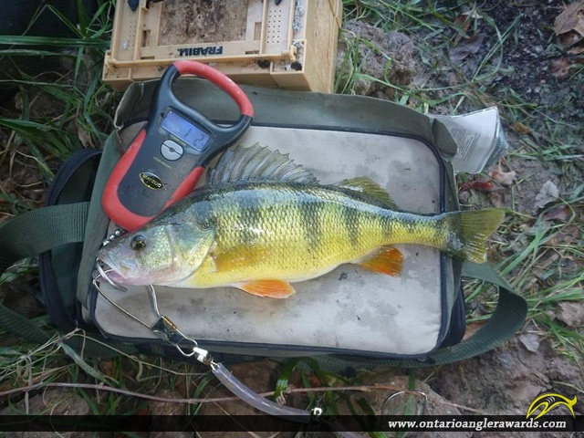 "14.2"" Yellow Perch caught on Welland River"