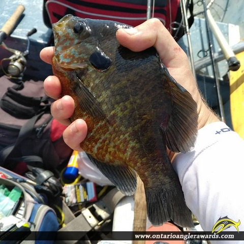 "10"" Pumpkinseed caught on Mississippi Lake"