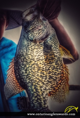 "13.25"" Black Crappie caught on Gloucester Pool"