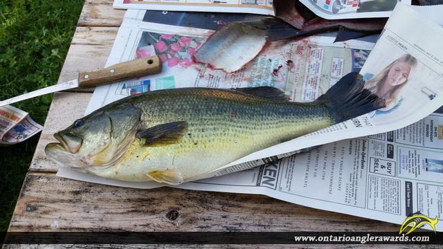 """21"""" Largemouth Bass caught on Stones Lake"""