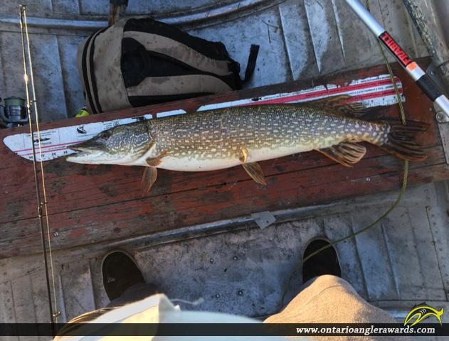 "33"" Northern Pike caught on Wawang Lake"