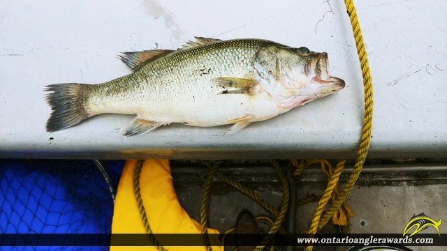 "19"" Largemouth Bass caught on Pike Bay"