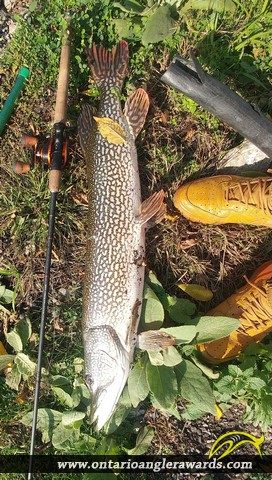 """39"""" Northern Pike caught on Picton Harbour"""