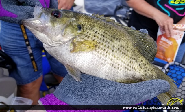 """14"""" Rock Bass caught on Lake of the Woods"""