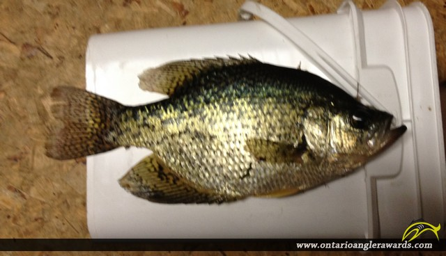 """14"""" Black Crappie caught on Lake of the Woods"""