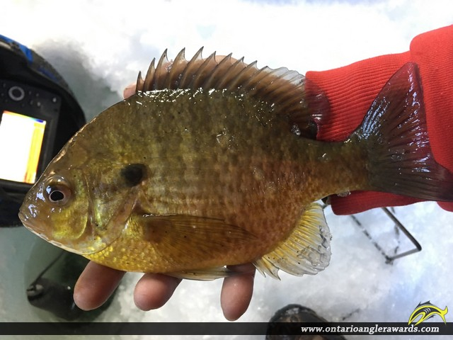 "10"" Bluegill caught on Rideau River"