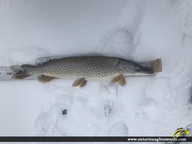 """30"""" Northern Pike caught on Lake Simcoe"""
