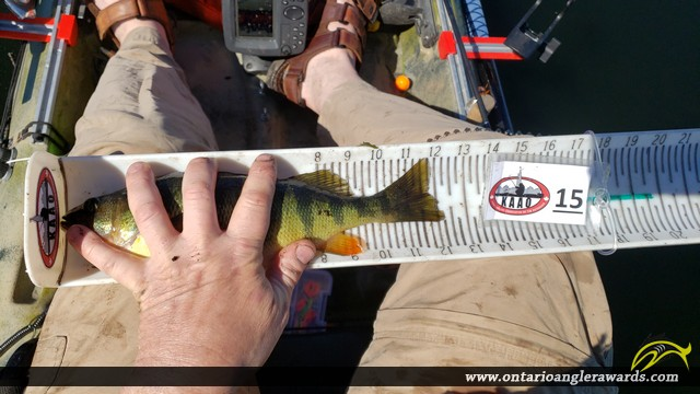 "12.25"" Yellow Perch caught on Rideau River"