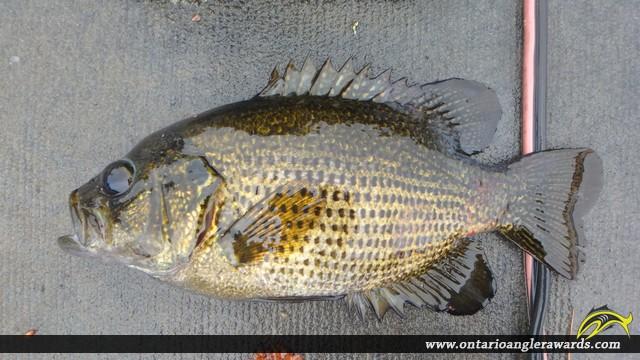 "12.50"" Rock Bass caught on Lake Nipissing"