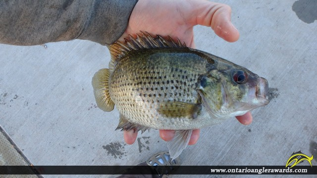 "10.20"" Rock Bass caught on Lake Nipissing"