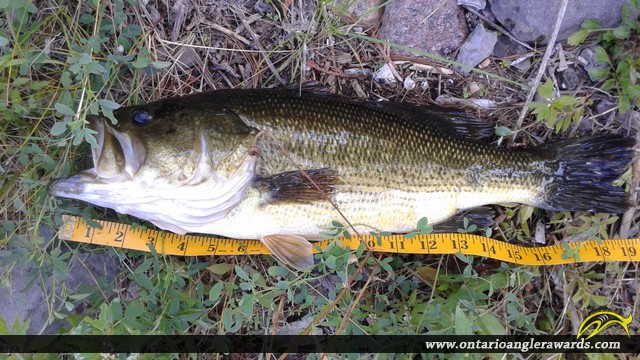"""19"""" Largemouth Bass caught on Trent Canal"""