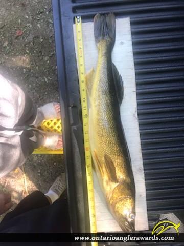 """26"""" Walleye caught on White Lake"""