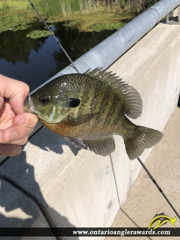 "9"" Bluegill caught on Mud Creek"