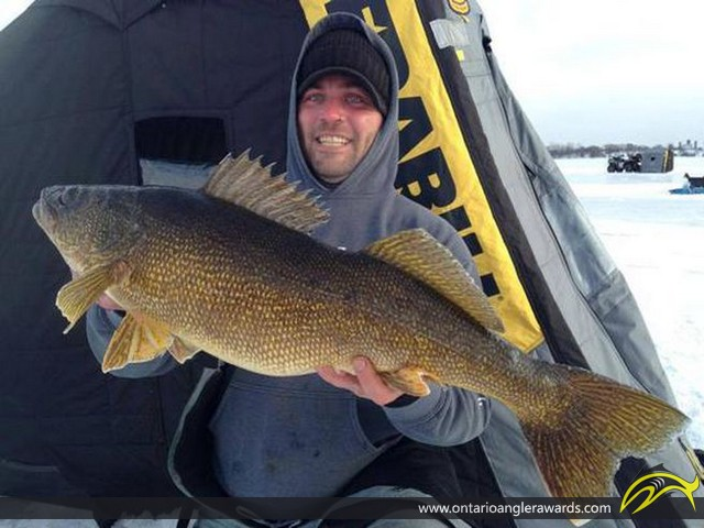 """31"""" Walleye caught on Bay of Quinte"""